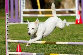 australian shepherd agility kaos rocks her agility trials u2013 deaf dogs rock