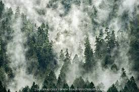 Oregon forest images Douglas fir old growth willamette national forest 219 144 616 jpg