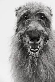 best 20 scottish deerhound ideas on pinterest irish deerhound