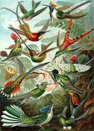Dove Migration Map Hummingbird Wikipedia