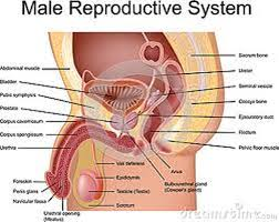 Webmd Human Anatomy Links Reproductive System