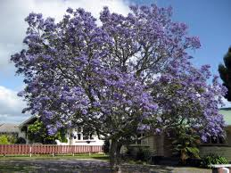 Tree With Purple Flowers Trees With Blue Flowers Things About Trees
