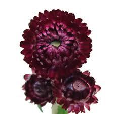 fresh cut flowers purpleberry fresh cut straw flower