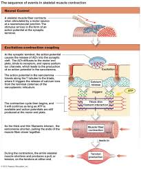 the muscular system micro and macro anatomy