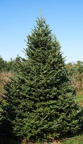 fraser fir tree wholesale fraser fir trees abies fraseri brown s tree farm