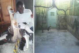 rukungiri 3 juvenile crested cranes rescued from trafickers