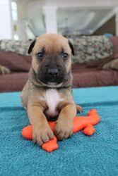 boxer dog with tail adopt mellana on boxer shepherd mix dog and boxer mix