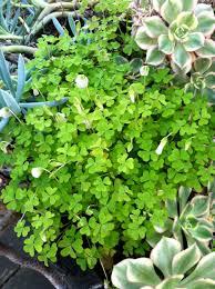 edible california native plants edible california plants a bouquet from mendel