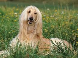 afghan hound mandarin 36 best nayytur images on pinterest