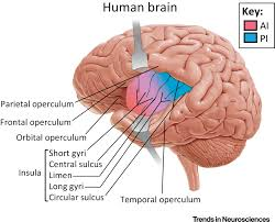 Anatomy And Physiology Of The Brain The Insula An Underestimated Brain Area In Clinical Neuroscience