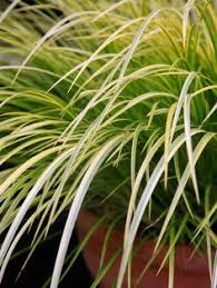 schizachyrium scoparium twilight zone ornamental grasses