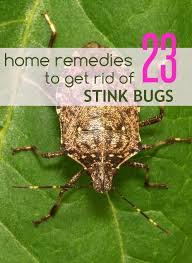 natural ways to get rid of stink bugs 23 home remedies for stink