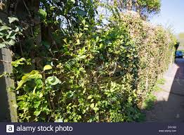 a garden fence damaged by ivy honeysuckle and other climbing