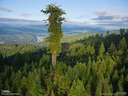 hyperion a coast redwood sequoia sempervirens the tallest tree