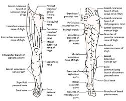 Innervation Of Infraspinatus Cutaneous Innervation Of The Lower Limb Earth U0027s Lab