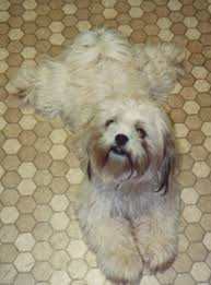 shih tzu with curly hair a list of non shedding dog breeds picking the best dog breed for