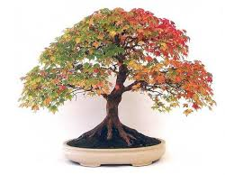 best quality bonsai canadian maple tree seeds mini plants new live