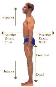 Picture Of Anatomical Position Anatomy Directional Terms Anatomy And Physiology Study Notes