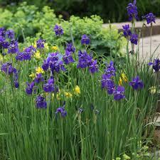 Iris by Buy Siberian Iris Iris U0027caesar U0027s Brother U0027
