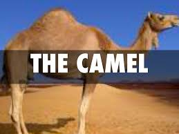 camel adaptations by spencer oseguera