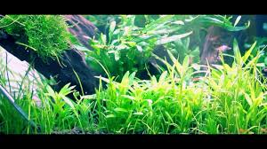 Marine Aquascaping Techniques Awesome Planting Lilaeopsis Sagitta Trident Aquascape Tips