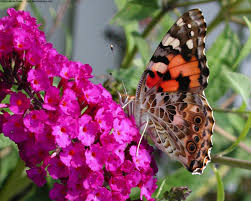 a butterfly wallpapers in jpg format for free download