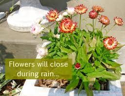 straw flowers strawflowers blooming drought tolerant flowers pet scribbles