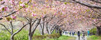 of china tree the the bad and the sides to japan s cherry blossom