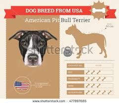 american pit bull terrier website american pit bull terrier stock images royalty free images