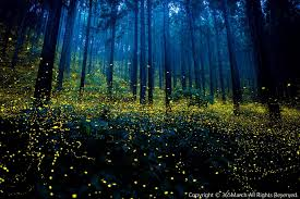wedding quotes japanese magical photographs of fireflies from japan s 2016 summer colossal