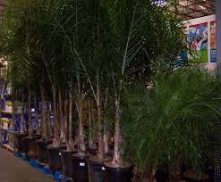 the 2 minute gardener photo palm trees at costco