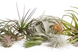plant of the month club sprouts house plants renton air plant of the month club