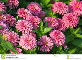 zinnia flower royalty free stock image image 35971926