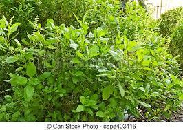 basilic cuisine basilic vert cuisine arbre image de stock recherchez photos