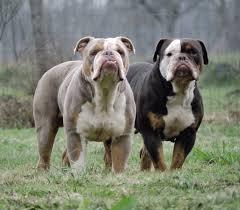 the bulldog express lilac english bulldog rare colored english