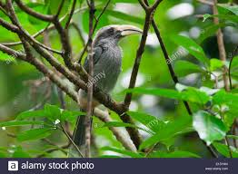 eastern and western ghats malabar grey hornbill ocyceros griseus is a hornbill endemic to