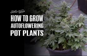 how much light do pot plants need autoflower marijuana plants flower without you having to change the