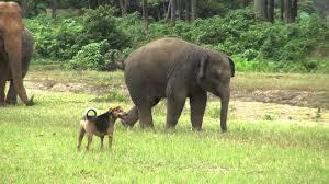 baby elephant yindee vs a dog youtube