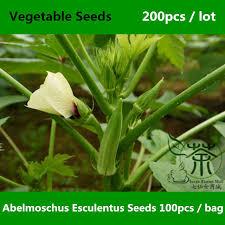 Okra Plant Diseases - aliexpress com buy family malvaceae abelmoschus esculentus seeds
