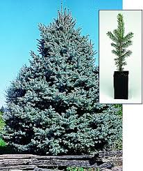 gift tree free shipping memorial gift tree colorado blue spruce free priority mail shipping