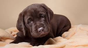 stop your puppy crying great tips for settling new puppies day