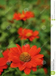 Orange Colors Names Orange Color Flower Name Mexican Sunflower In Garden Stock Photo