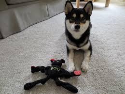 halloween dog toys shiba inu saki dog toys hugglehounds boo the bat halloween toy