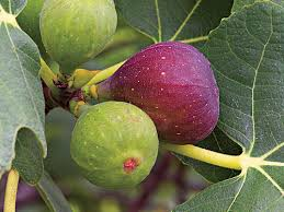 Best Fruit Trees For North Carolina - how to grow fig trees southern living