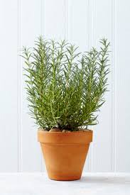 best 25 rosemary growing ideas on pinterest growing herbs