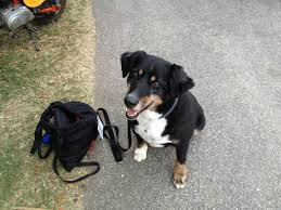 8 year old australian shepherd the dogs of nall rc groups