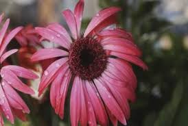 Echinacea Flower How Long For Echinacea To Bloom From Seed Home Guides Sf Gate