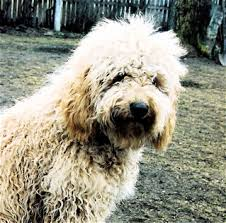 labradoodle hairstyles labradoodle grooming and labradoodle coat types