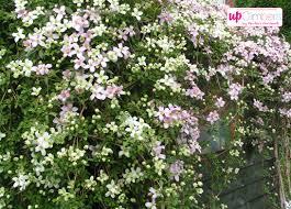 clematis my perfect garden