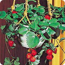spring fundraising flower bulbs dutch mill bulbs